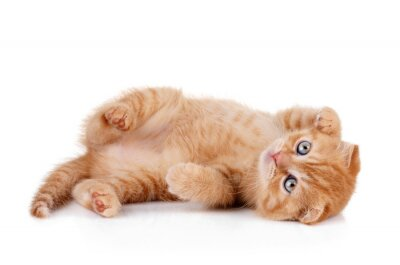 Poster Red kitten on a white background