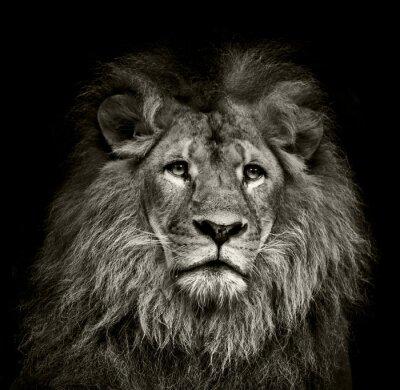 Poster sad  lion