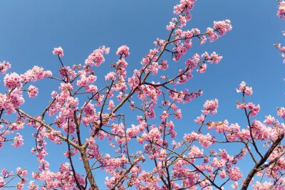 Poster Sakura