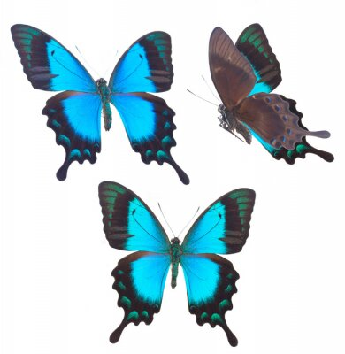 Poster  Sea Green Swallowtail butterfly