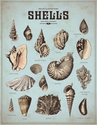 Poster sea-life illustrations: shells (1)