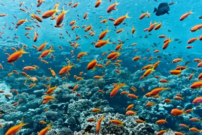 Poster Shoal of anthias fish on the coral reef