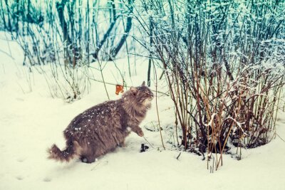 Poster Siberian cat walking in the snowy forest