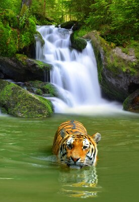 Poster Siberian Tiger in water
