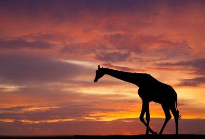 Poster Silhouette of a giraffe against a beautiful sunset
