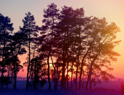 Poster silhouettes of pine trees