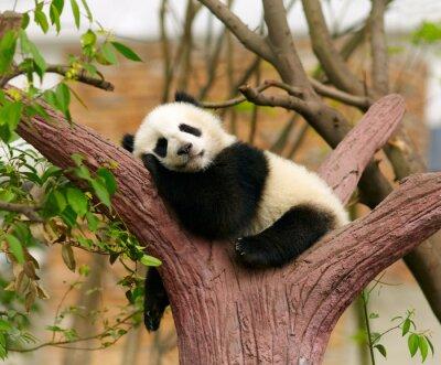 Poster Sleeping giant panda baby