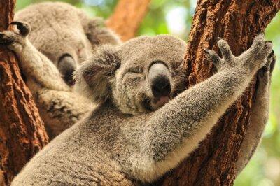 Poster Sleeping koalas