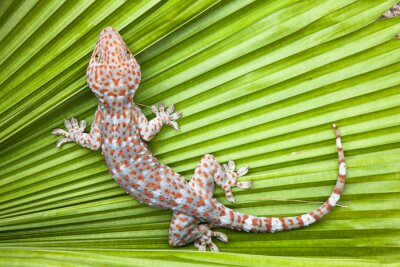 Poster Spotted gecko on a green leaf palm.