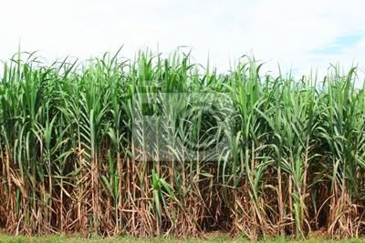 Poster sugarcane plantation