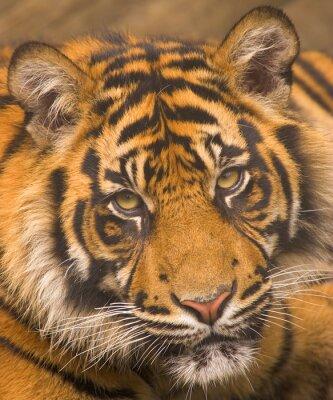 Poster Sumatran Tiger