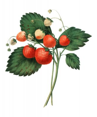 Poster The Boston Pine Strawberry (1852) by Charles Hovey, a vintage illustration of fresh strawberries. Digitally enhancedby rawpixel.