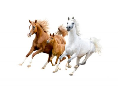 Poster three arabian horses isolated on white