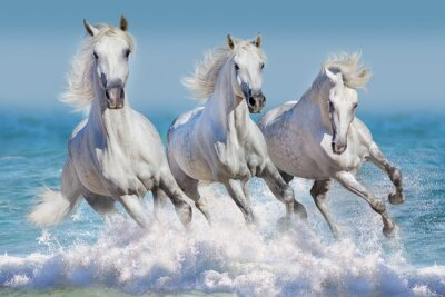 Poster Three white horse run gallop in waves in the ocean