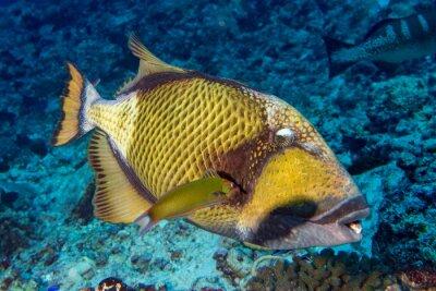 Poster titan trigger fish in Maldives