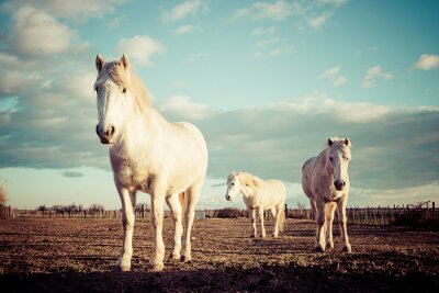 Poster trois chevaux blancs camarguais vintage