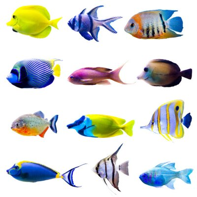 Poster Tropical fish collection