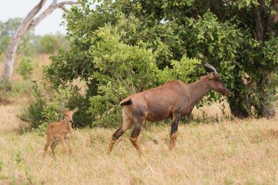 Poster Tsessebe mom and calf