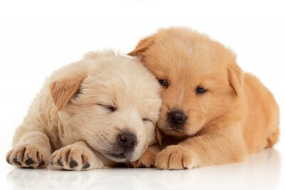 Poster Two cute Chow-chow puppies,  isolated over white background