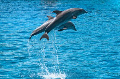 Poster Two dolphins jump above blue water