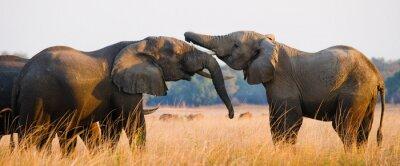 Poster Two elephants playing with each other. Zambia. Lower Zambezi National Park. Zambezi River. An excellent illustration.