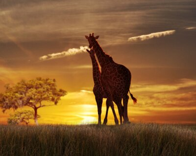 Poster Two Giraffes At The Sunset