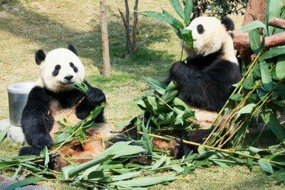 Poster Two pandas eating bamboo
