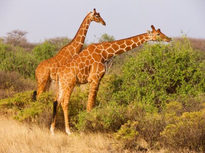 Poster Two reticulated giraffe eating leaves from bushes