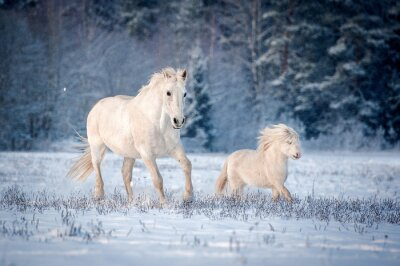 Poster Two white horses running on the field in winter