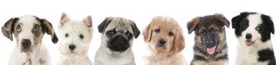 Poster Verschiedene Welpen - Hunde Köpfe aufgereiht