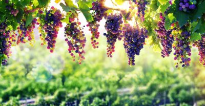 Poster Viticulture The Sun That Ripens The Grapes