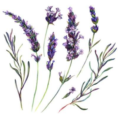 Poster Watercolor Lavender Elements