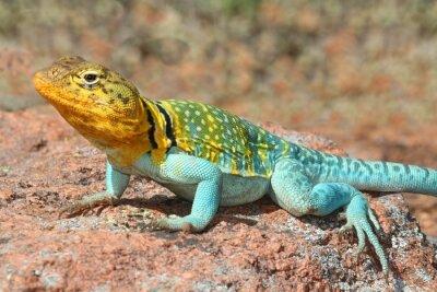 Poster Western Collard Lizard (Crotaphytus collaris)