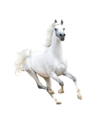Poster white arabian horse isolated on white