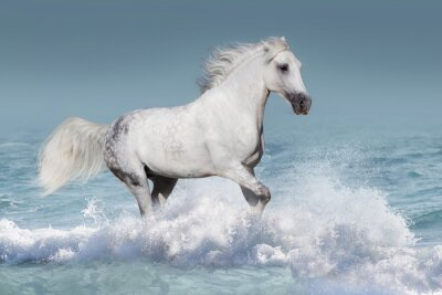 Poster White arabian horse run gallop in waves in the ocean