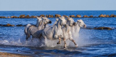 Poster White Camargue Horses galloping along the sea beach. Parc Regional de Camargue. France. Provence. An excellent illustration