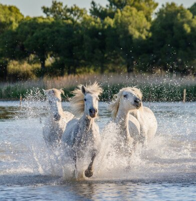 Poster White Camargue Horses run in the swamps nature reserve. Parc Regional de Camargue. France. Provence. An excellent illustration