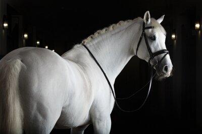 Poster White horse on black background