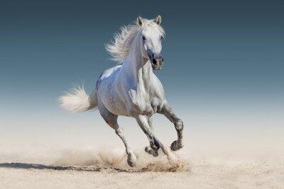 Poster WHite horse run gallop