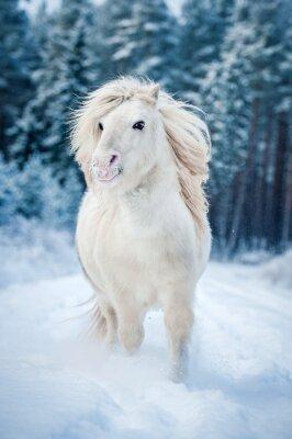 Poster White shetland pony running in the snow in winter