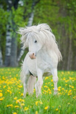 Poster White shetland pony with beautiful long mane running on the field with dandelions