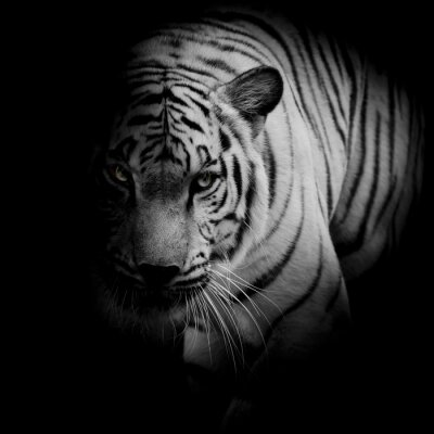 Poster White tiger isolated on black background
