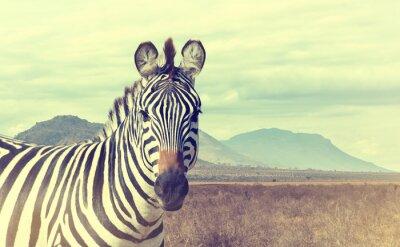 Poster Wild african zebra. Vintage effect