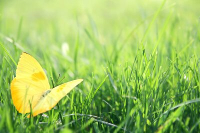 Poster Yellow Butterfly in Green Grass Background