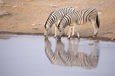 Poster Zebra drinking from a water hole