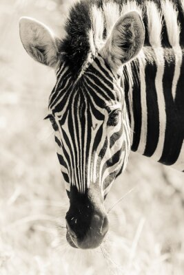 Poster Zebra Head Portrait Wildlife Black White Vintage