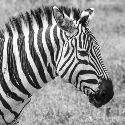 Poster Zebra in National Park. Africa, Kenya