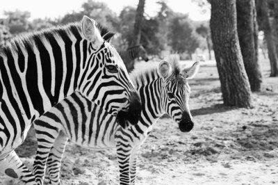 Poster Zebra in Safari in Tel-Aviv