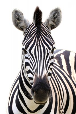 Poster Zebra isolated on white