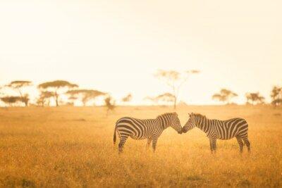 Poster Zebra Love in the Serengeti